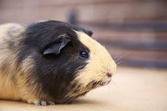 Guinea pig. Tan and black guinea pig, side view Royalty Free Stock Photography