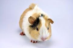 Guinea Pig. Image of a Guinea Pig stock image
