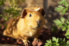 Guinea pig. A cute guinea pig in evening sunlight stock image