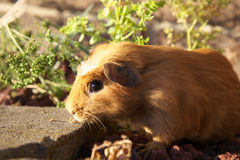 Guinea pig. A cute guinea pig in evening sunlight Stock Photography