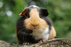 Guinea pig. Cute hairy guinea pig on log Royalty Free Stock Photo