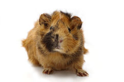 Guinea pig. Young guinea pig against the white background Royalty Free Stock Photo