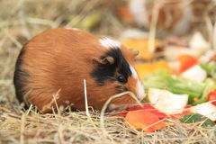 Guinea pig. The guinea pig eating some vegetable Royalty Free Stock Image