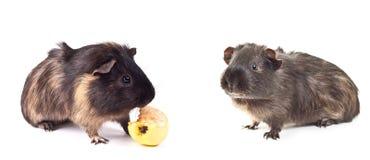 Guinea pig. Set guinea pig on the white background Stock Photos