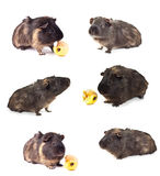 Guinea pig. Set guinea pig on the white background Royalty Free Stock Images
