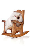 Guinea pig. Long haired guinea pig in rocking chair royalty free stock image