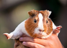 Guinea pig . Stock Photos