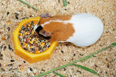Guinea pig. Animal theme: Guinea pig from top Royalty Free Stock Photos
