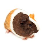Guinea pig Royalty Free Stock Photo