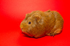 A guinea pig. With a red background Royalty Free Stock Images