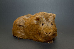 A guinea pig. With a black background Stock Photography
