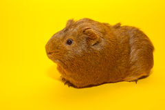 A guinea pig. With a yellow background Stock Photos