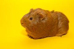 A guinea pig Stock Photos
