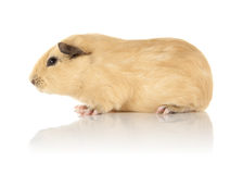 Guinea Pig. A young guinea pig on a reflective surface Stock Photos