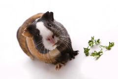 Guinea pig. Isolated on white Royalty Free Stock Images