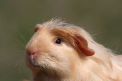 Guinea pig. Portrait of guinea pig  - detail Royalty Free Stock Images