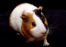 The Guinea Pig stock image