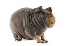 Guinea Pig. (cavia, porcelluson) on white background stock photography