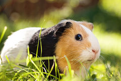 Guinea pig. (Cavia porcellus) is a popular household pet stock images