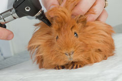 Guinea pig. Close up of guinea pig royalty free stock image
