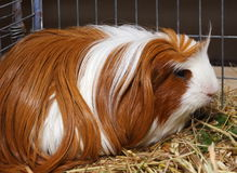 Guinea pig. In cage from exhibition Stock Photo