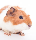 Guinea pig Royalty Free Stock Photography