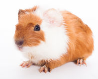 Guinea pig. Isolated on the white background Stock Photos