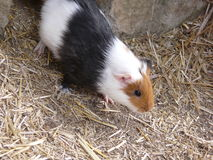 Guinea pig. In Ostrava Zoo Royalty Free Stock Images