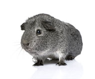 Guinea pig (3 years) Stock Images