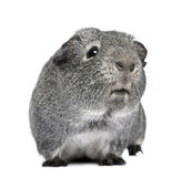 Guinea pig (3 years) Royalty Free Stock Images