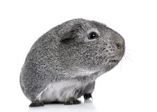 Guinea pig (3 years) Royalty Free Stock Photo