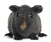 Guinea pig, 3 years old Stock Photos