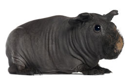 Guinea pig, 3 years old Stock Photography