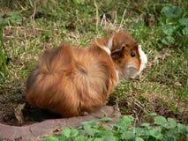 Guinea Pig. Startled Guinea Pig Stock Photos
