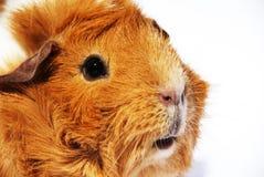 Guinea pig_02 Royalty-vrije Stock Afbeelding