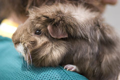 Guinea pig. Closeup furry pet guinea pig Royalty Free Stock Images
