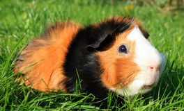 Guinea Pig. This image shows a lying guinea pig stock photography