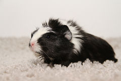Guinea pig. Black and white Guinea pig on a carpet stock photos