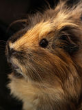 Guinea-pig. Macro of a brown guinea pig Royalty Free Stock Image