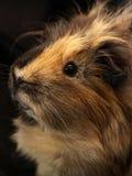 Guinea-pig. Macro of a brown guinea pig royalty free stock image