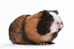 Free Guinea Pig Stock Images - 43919964