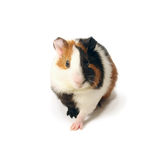 A guinea-pig Royalty Free Stock Photo