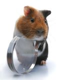 Guinea-pig. Object over white, Glass, Rodent, Smile royalty free stock photo