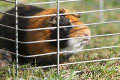 Guinea - pig Stock Photo