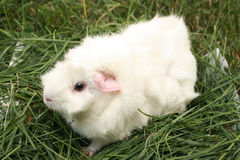 Guinea pig. Small cute guinea pig on the grass Stock Photos