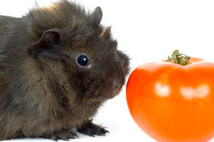 Guinea-pig;. Guinea-pig on a neutral background Stock Photography
