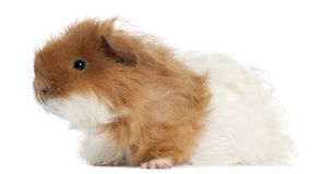 Guinea pig, 7 months old Stock Photos