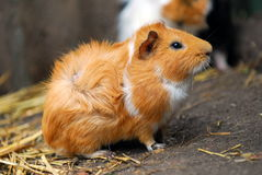 Guinea pig. A close up potrait of a Guinea pig Stock Images