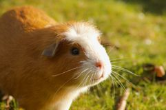 Guinea pig. In a grass Royalty Free Stock Images