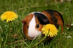 Guinea pig. A guinea pig or cavy sitting in a spring field with flowers Royalty Free Stock Image